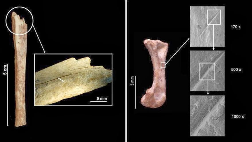 Els coloms salvatges, un recurs més de la dieta neandertal