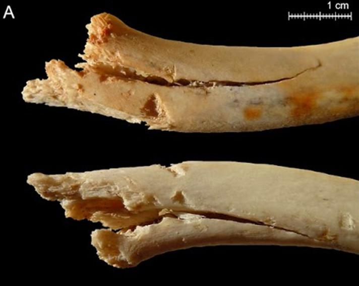El comportament dels ossos a la prehistòria